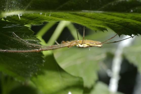 Guatemalan long jawed spider